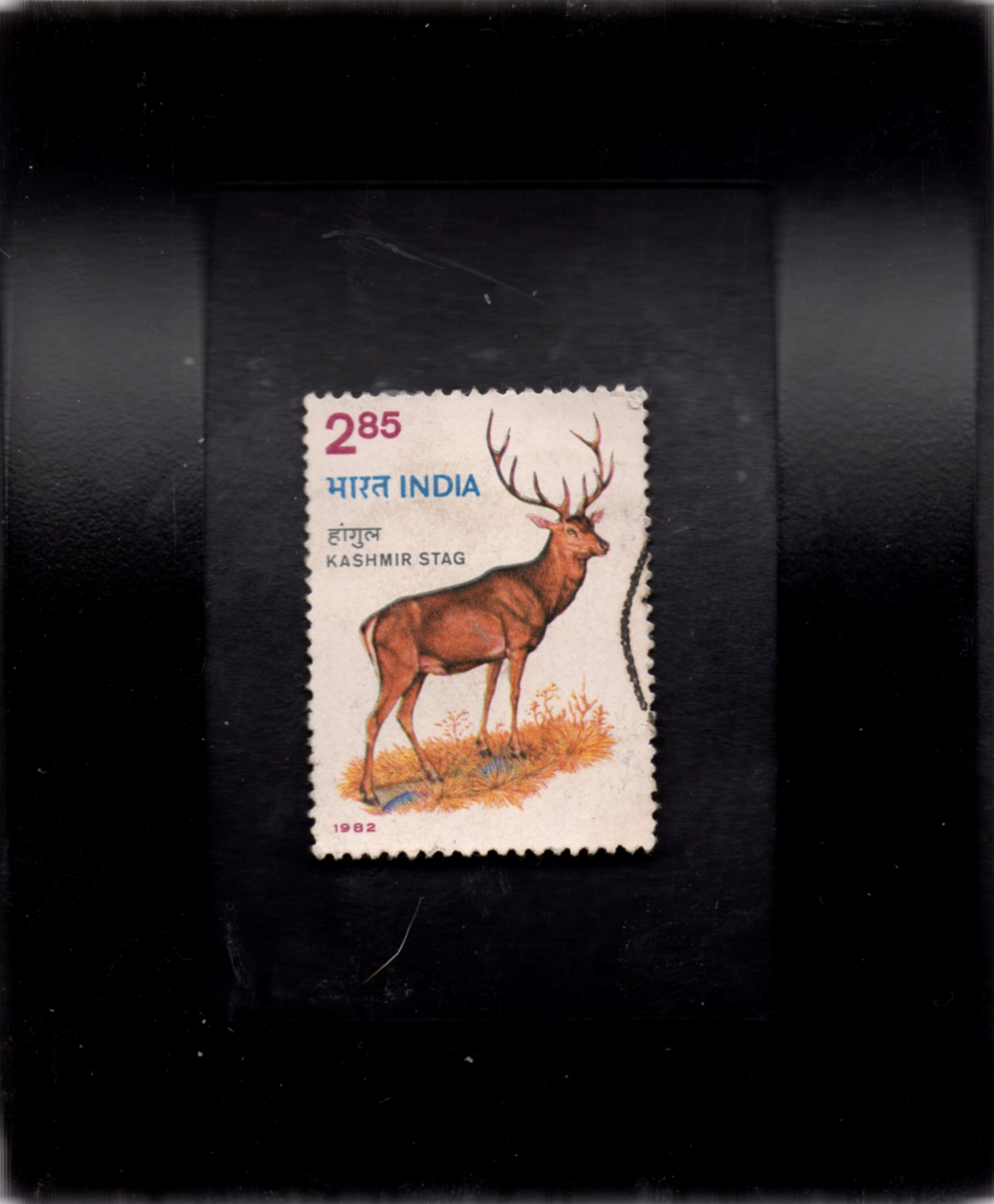 Image for Majestic Kasmir Stag